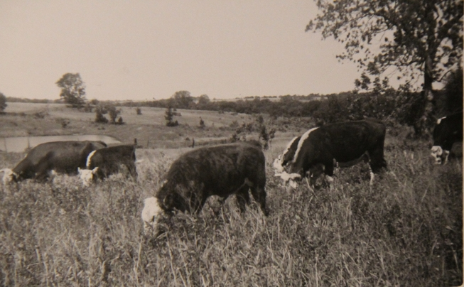 Cattle ranch 60's rs.jpg