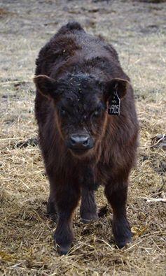 4905_bull_calf