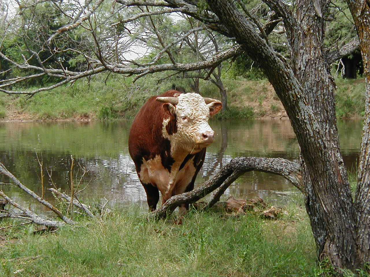 how to become a cattle rancher