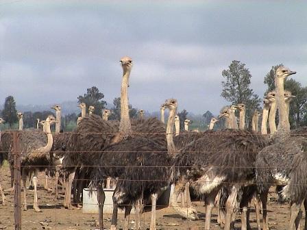 Ostrich_2