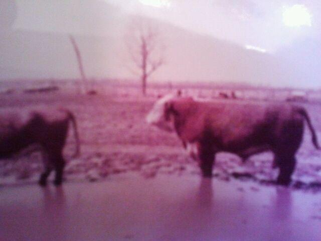 banner_bull
