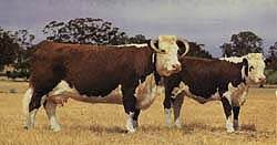 hereford-cow