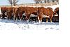 Heifer_calves_in_snow_1.png