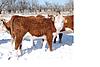 Heifer_calves_in_snow_2.png