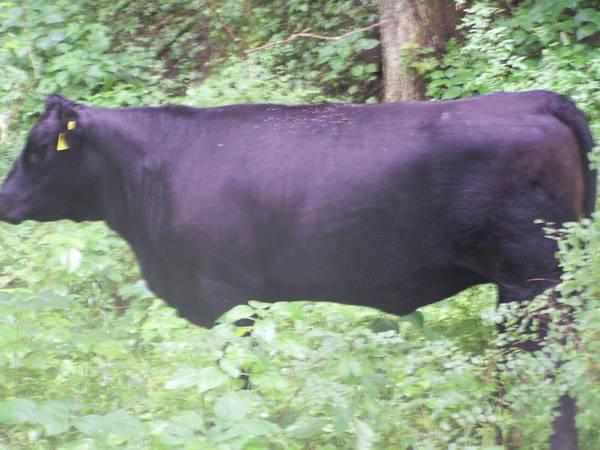 Goldrush Gelbvieh Balancer Cattle